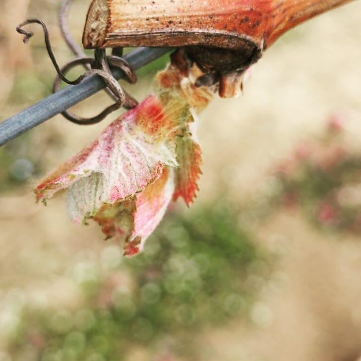 Es beginnt… #winery #spring #explodingnature #wineofaustr…