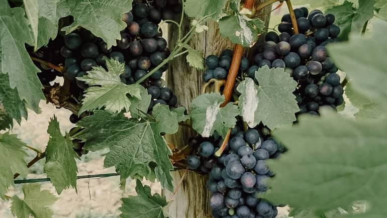 Ein kleiner Blick in unsere Weingärten. Die Sonne des Blaufr…